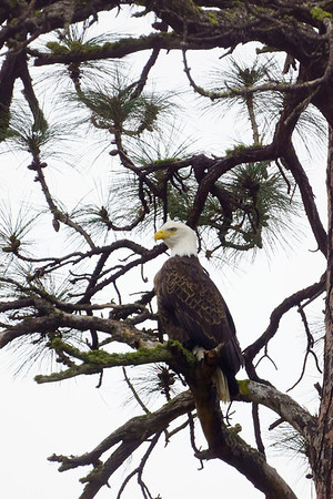Bald Eagle 3A Profile