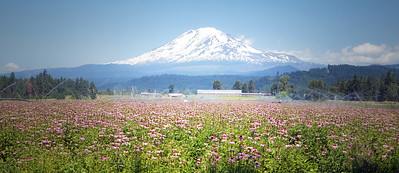 Flowers & Mt. Adams