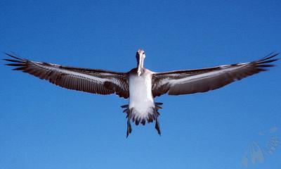 Suspended Pelican