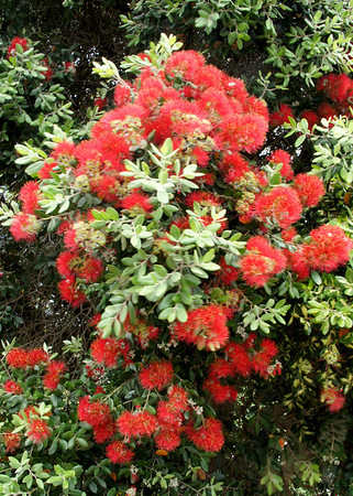 New Zealand's Christmas Tree Blooms  (These dazzle all over the country, but especially in the Auckland area in November & December).