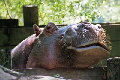 Hippo Grin