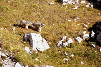 Marmot Couple